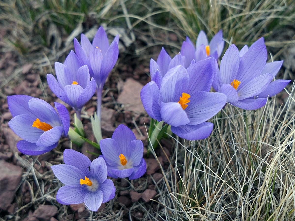 pola fioletowych kwiatów w drodze na szczyt Serbii - Midżur