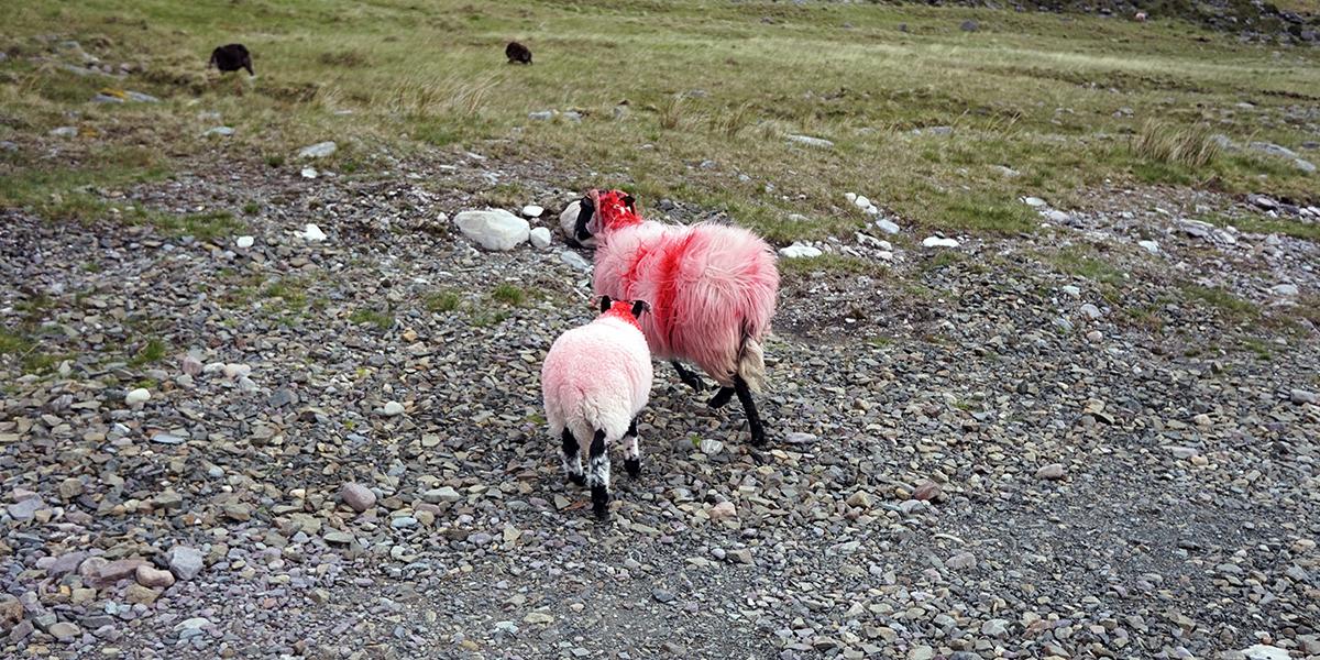 kolorowe owce na szlaku na Carrantuohill