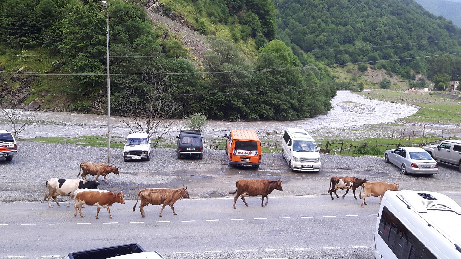 nawet zwierzęta w Gruzji wracają do domu ... same